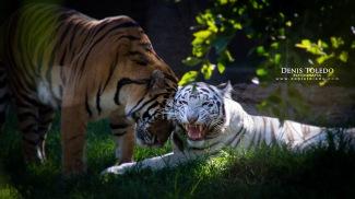 La tigresa blanca de La Aurora